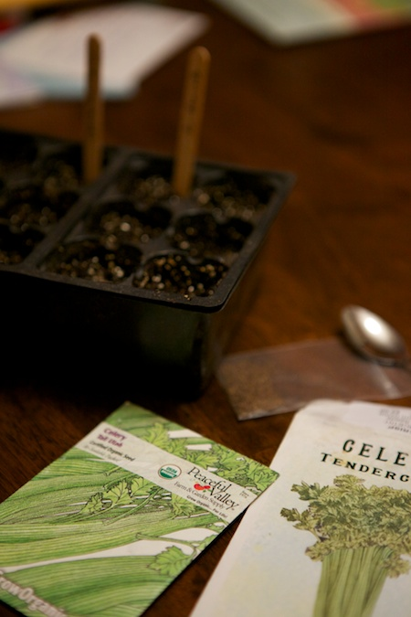 seeding celery 1