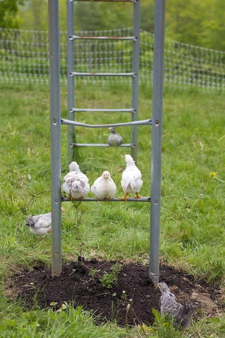 chicks roosting on old swingset