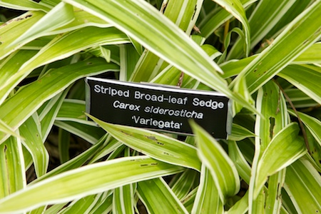 broad leaf sedge 1