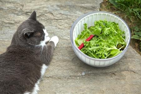 harvesting lettuce 2