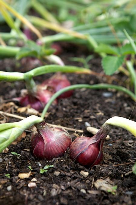 read onions