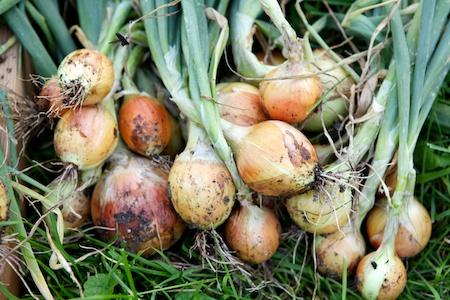 Onion Harvest 3