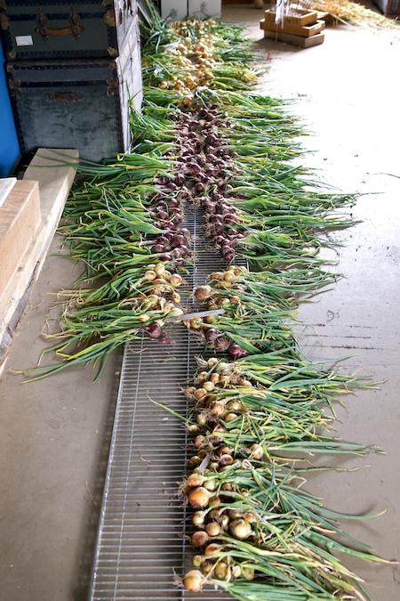 Onion Harvest 5