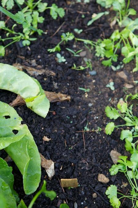 Carrot Seedlings 2