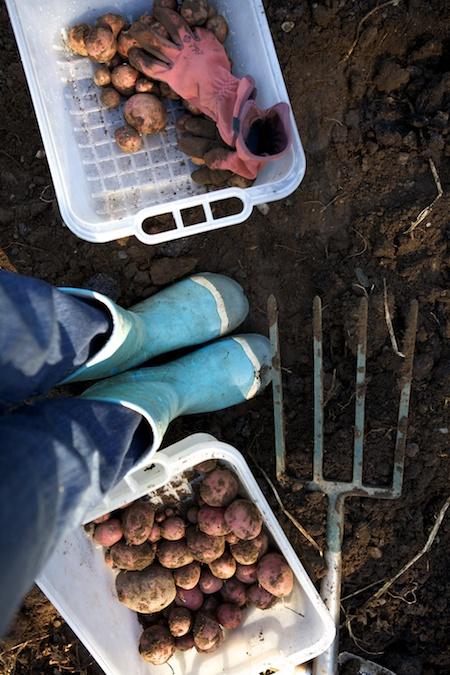 Harvesting potatoes 1