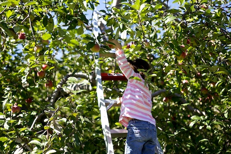 apple picking 4