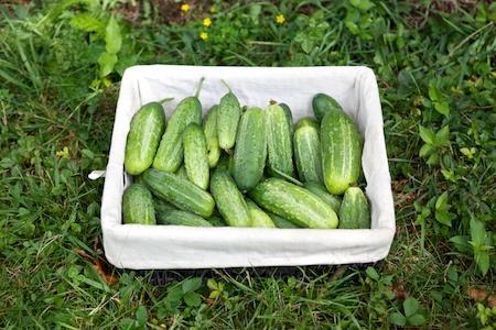 Cucumber harvest (1)