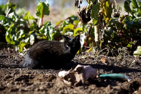 Planting Garlic 5