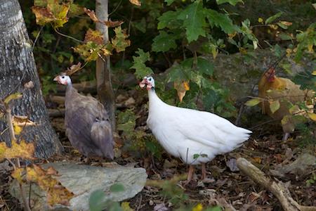 guinea fowl 1 (1)