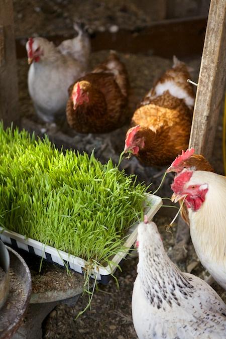 chicken fodder