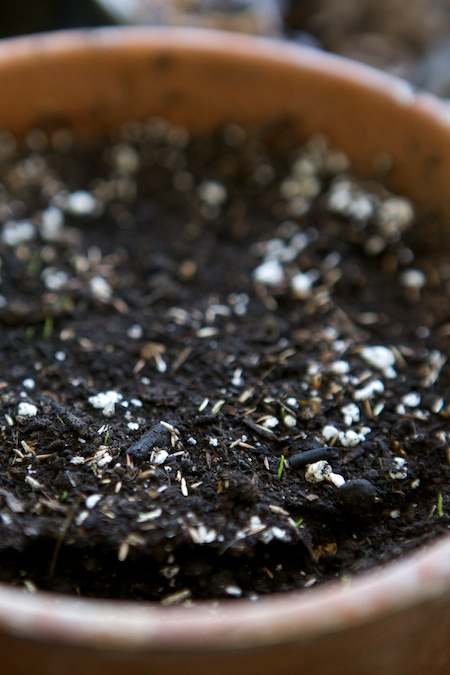 Lemongrass seedlings 2