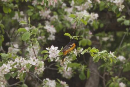 apple tree in bloom 1