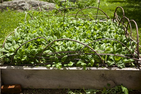 bolting Spinach 2
