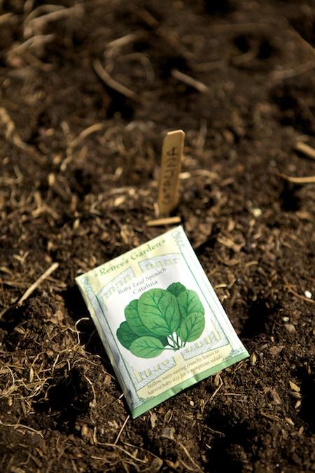 catalina spinach