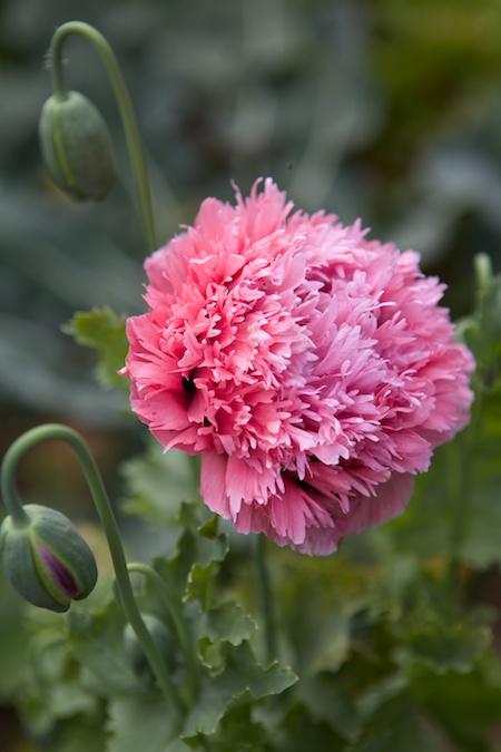 peony poppies 2