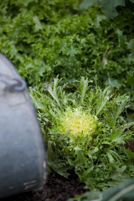 growing frisee 2