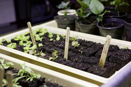 lettuce seedlings 1