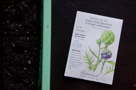seeding artichokes 1