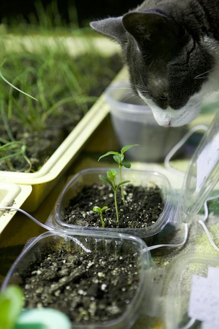 osage orange seedlings 2
