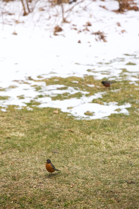 robins in spring 1