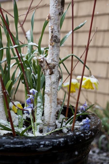 Snow on spring bulbs