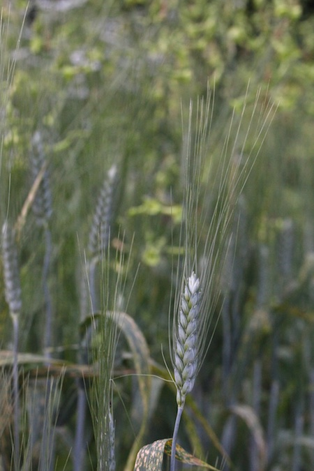 black tipped wheat