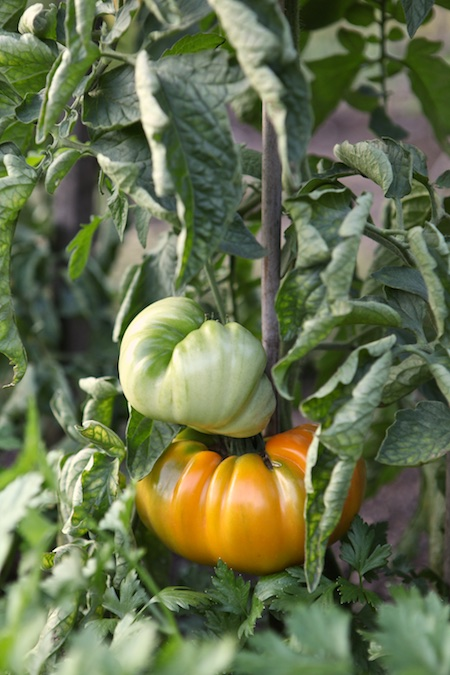 heirloom tomatoes 3