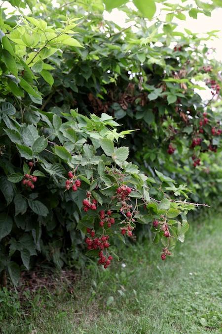 shelburne farms edible gardens 9