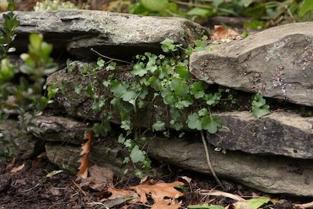 kennilworth-ivy-4