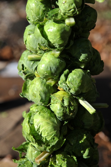 brussels-sprout-harvest-1