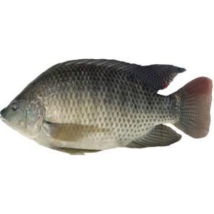 TIlapia Fish (1 Carton)