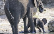 Baby Elephant Takes First Steps on Kilimanjaro Safaris Savannah