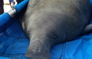 SeaWorld Returns First Manatee of the year, Begins Care for Two More