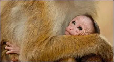 "DisneyNature's ""Monkey Kingdom"" introduces Maya!"