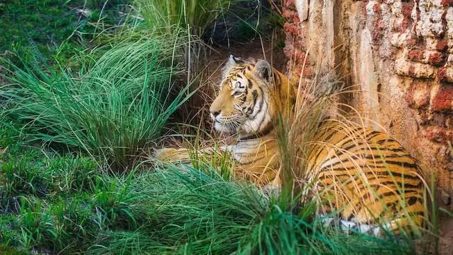 Maharajah Jungle Trek Tiger Exhibit Closed for Refurbishment