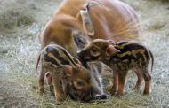 Adorable Red River Hogs Born at Animal Kingdom Lodge in Walt Disney World