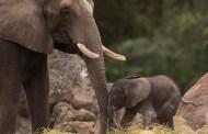 Baby Elephant, Stella, Celebrates Her First Birthday at Disney's Animal Kingdom