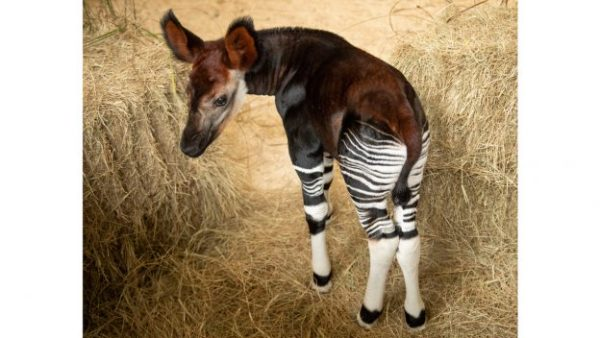 First Look: Okapi Calf Born at Disney's Animal Kingdom Lodge 1