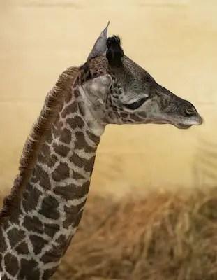 DISNEY BABY NEWS: Baby Giraffe Born Today at Disney's Animal Kingdom Theme Park 1