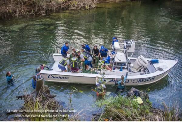 SeaWorld Rescue Team Saves Juvenile Manatee 4