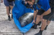 SeaWorld Rescue Team Saves Juvenile Manatee