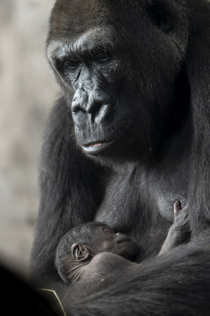 New Addition To Animal Kingdom's Gorilla Family 1