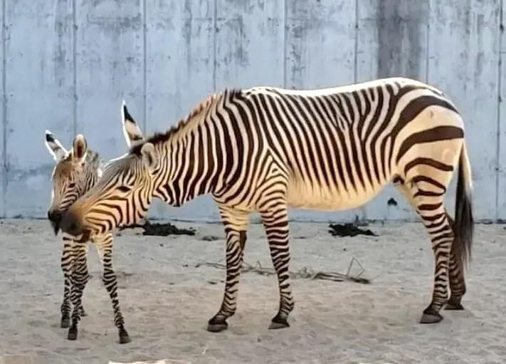 Disney's Animal Kingdom Welcomes New Baby Zebra Foal
