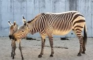 Disney's Animal Kingdom Welcomes New Baby Zebra Foal
