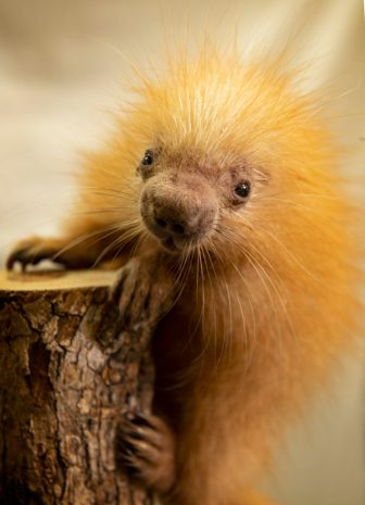 Disney's Animal Kingdom New Baby Porcupine Gets Namesake From Disney Cast Member