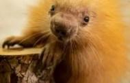 Disney's Animal Kingdom New Baby Porcupine Gets Namesake From Disney Cast Member