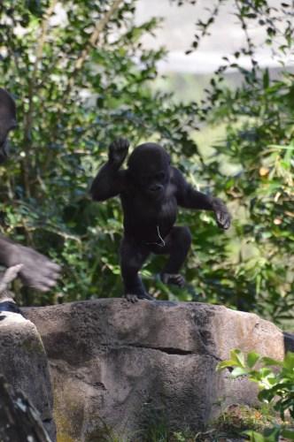 Happy First Birthday to Disney's Animal Kingdom Baby Gorilla 2