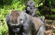 Happy First Birthday to Disney's Animal Kingdom Baby Gorilla