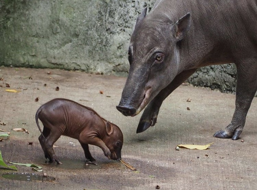 Baby Babirusa Born At Disney's Animal Kingdom!