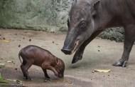 Baby Babirusa Born At Disney's Animal Kingdom!